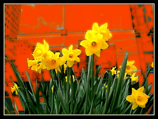 Urban Daffodils c.2003 Jak King